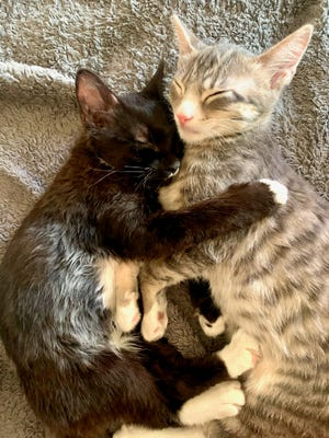 Interested adopters can contact Moose and Lynx's foster mom, Hope, at hconant@newbornkittenrescue.org to learn more or to setup an appointment to meet these special kitties.