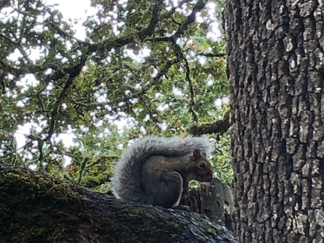 A gray squirrel in the Salem Audubon Nature Reserve