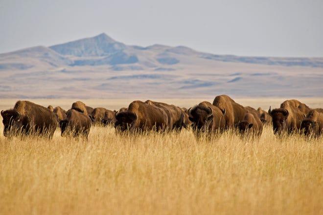 Wild Idea Buffalo Company is based on a 34,000-acre ranch in western South Dakota.
