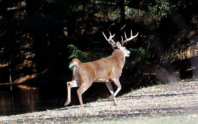 A buck runs through the front yard of a home in the 1600 block of Township Road 1153 in Milton Township on Tuesday, Nov. 3, 2020. TOM E. PUSKAR/TIMES-GAZETTE.COM