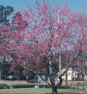 Redbud trees, which grow to about 30 feet, are popular in Northeast Florida.
