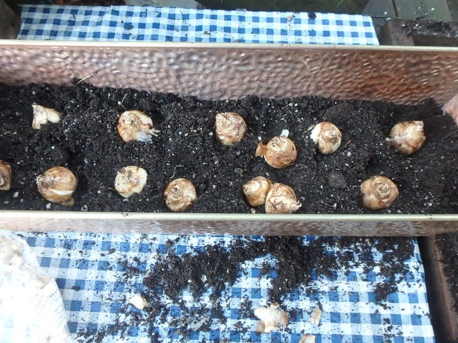 These daffodil bulbs are ready to be covered with potting soil.