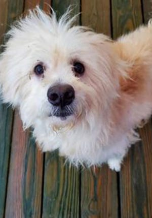 Albert, an adult male terrier, is available for adoption from SAFE Pet Rescue of Northeast Florida. Call 904-325-0196. Vaccinations are up to date.