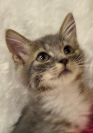 Cosette, a baby female tabby tuxedo, is available for adoption from Wags & Whiskers Pet Rescue. Routine shots are up to date. For information, call 904-797-6039 or go to wwpetrescue.org to see more pets.
