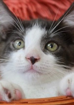 Joey, a baby male American shorthair mixed, is available for adoption from Wags & Whiskers Pet Rescue. Routine shots are up to date. For information, call 904-797-6039 or go to wwpetrescue.org to see more pets.