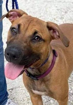 Autumn, a young female shepherd, is available for adoption from SAFE Pet Rescue of Northeast Florida. Call 904-325-0196. Vaccinations are up to date.