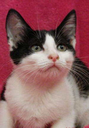 Lily, an adult female domestic short hair, is available for adoption from Wags & Whiskers Pet Rescue. Routine shots are up to date. For information, call 904-797-6039 or go to wwpetrescue.org to see more pets.