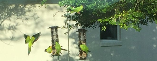 Green parrots make an appearance at a bird feeder on Anastasia Island.