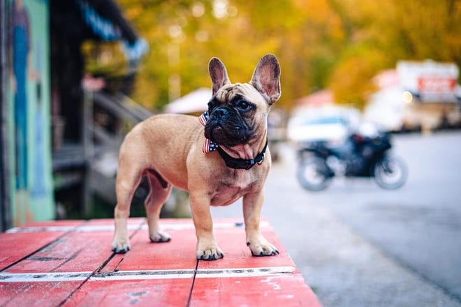 Wilbur, a French Bulldog, is the newly elected mayor of Rabbit Hash.