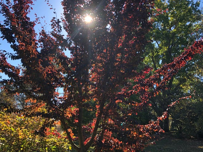 Chinese Ironwood (Parrotia subaequalis) a rare species in full fall color at Yew Dell Botanical Gardens