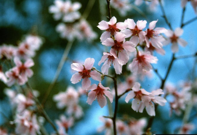 In late winter and early spring, Okame cherry trees produce multitudes of single pink blooms.
