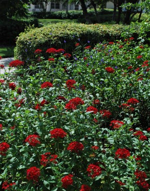 The right location for planting Pentas is in full sun to light or shifting shade. More sun equals more flowers. The soil should not be wet, but irrigation should be available as this lovely perennial prefers a bit of moisture when the weather turns dry. Mulch is a good thing as it will cool the roots and conserve moisture.