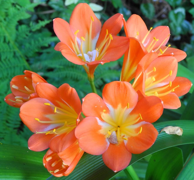 Clivias make for wonderful houseplants. These South African natives adapt well to the dry conditions with low light often found indoors.