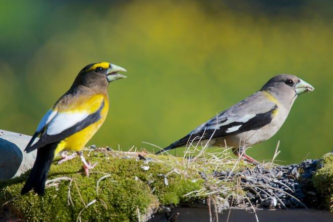 Watch for evening grosbeaks at birdfeeders in Erie County. Shutterstock