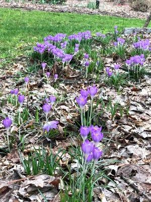 Crocus arrive early and brighten up the garden in winter.