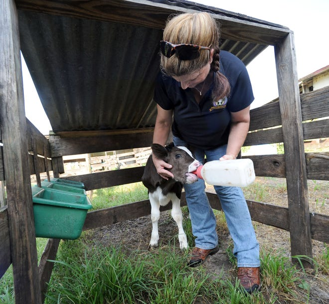 Freda Carey gives a bottle to a calf at H.C. Dairy Farm in Lakeland in 2012. Polk's last dairy farm will soon make way for a 170-home development.