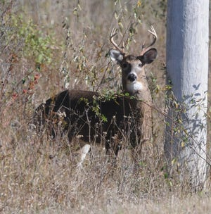 A whitetail buck such as this can end up getting hit by a car between late October and early December. This time of year is peak mating season for the species, which leads to higher incidents of collisions with vehicles.