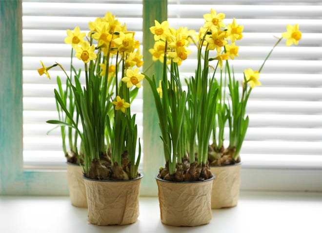 Forcing bulbs will give you beautiful flowers during the cold winter months.