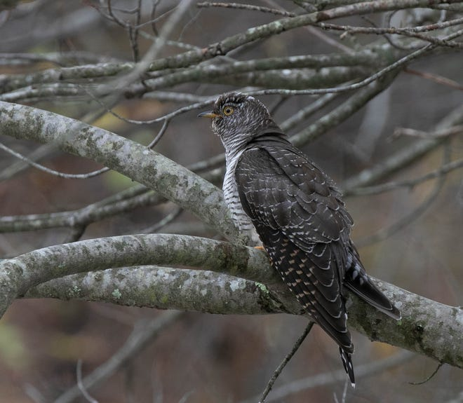 A photo of the common cuckoo spotted in Snake Den State Park taken by URI professor Peter Paton.