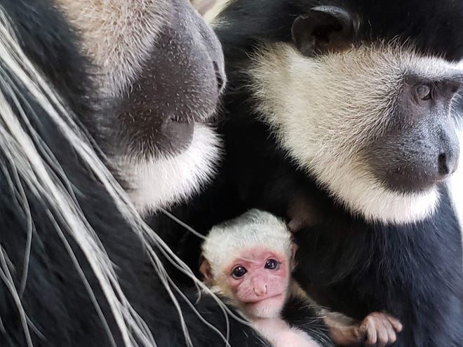 Binder Park Zoo has announced the arrival of a black and white colobus monkey who was born in the early hours of Oct. 31.