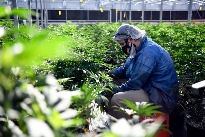 Chris Kirkwood, a cultivation technician, works in a greenhouse at the TerrAscend marijuana farm in Boonton Township, NJ on Thursday, Nov. 5, 2020.
