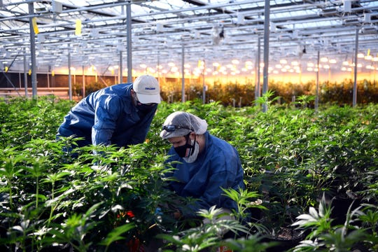 Cultivation leader Pat Cane, left, and technician Chris Kirkwood, work in a greenhouse at the TerrAscend marijuana farm in Boonton Township, New Jersey, in this Nov. 5 file photo. The Cannabis Control Board on Monday plans to discuss, and possibly change, some of the proposed rules and regulations for the recreational cannabis industry on Guam.