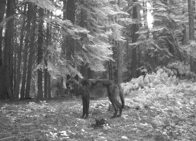 This breeding male wolf was killed in Baker County in September. Police are looking for who was responsible.