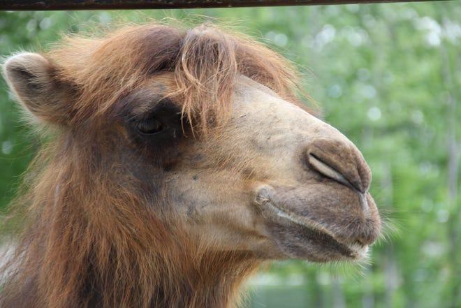 Tuya the camel in Blank Park Zoo.