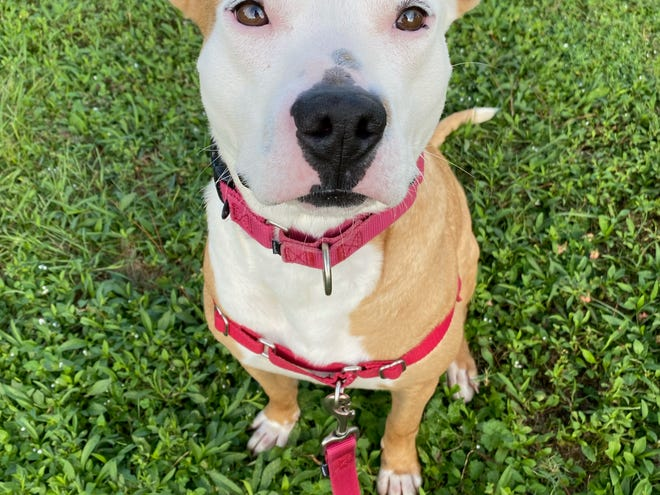 Gisella's adoption fee would be $30, which includes her spay surgery, vaccines, & microchip + registration.