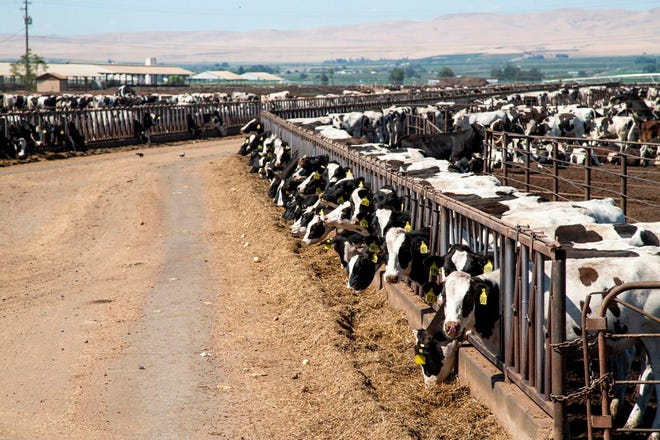 Dairy cows feed at a lot in Sunnyside, Wash.. A divided Washington Supreme Court ruled that the state's dairy workers are entitled to overtime pay if they work more than 40 hours a week, a decision expected to apply to the rest of the agriculture industry.