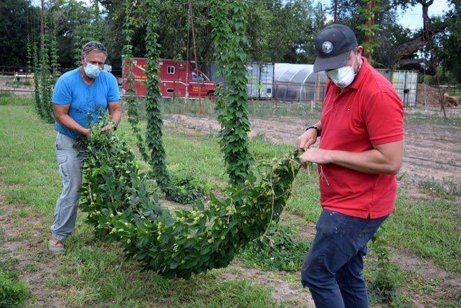 Whitney, right, agriculture program manager for the Village of Los Ranchos, and Matt Stebleton, season farmer at the village's agri-nature center, carry hops vines, known as bines, to the mechanical harvester.