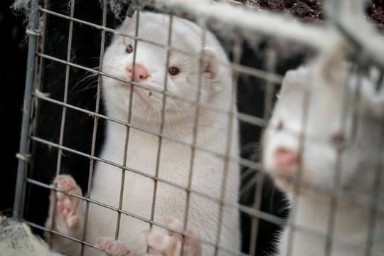 About 3,000 mother mink and their cubs were killed on a farm in Denmark, where a mutated variation of coronavirus has infected mink bred from their fur.