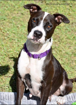 """Queen is a silly 3-year-old female Lab /Terrier mix. She enjoys receiving attention from all people and giving kisses! She is treat motivated and knows """"sit"""". Queen does well with other dogs, and needs a home without cats. She tested positive for heartworms and will be receiving treatment through our shelter."""