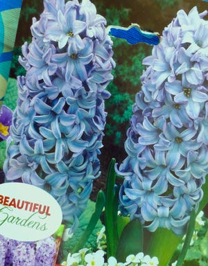 Waxy, fragrant, bell-shaped florets covering spiked hyacinth inflorescences are among the first flowers to pop up in the spring. Planting bulbs with a spring display of red, white, and blue spikes is a way to proudly honor our veterans.