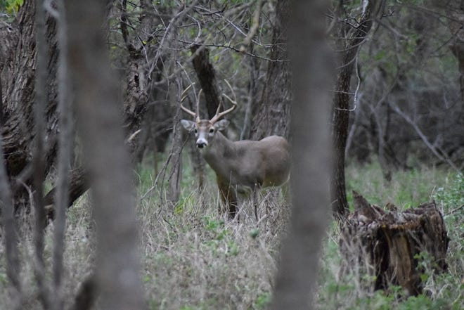 Big Whitetail bucks can bring big, green bucks to local economies. In the 2017-2018 season, over 900,000 Whitetail deer were harvested in Texas. Over 3,000 deer were harvested in this eco-region of Texas.