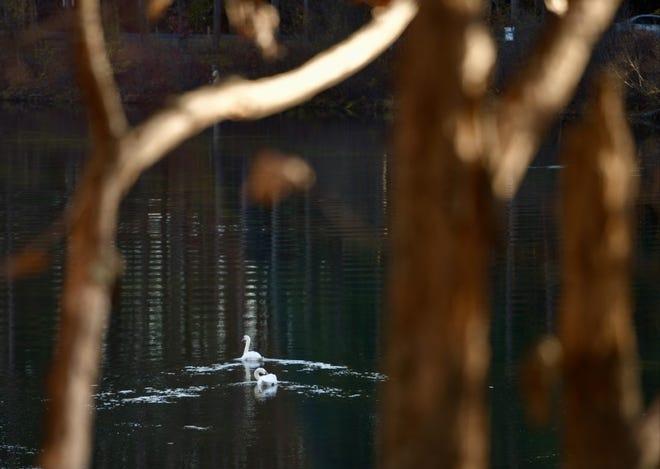 WEST BOYLSTON - Swans make their way across the Quinapoxet River near Thomas Basin on Monday.