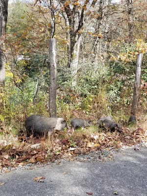 While these pigs are probably domesticated animals that got loose, Western North Carolina does have a sizable feral pig problem.