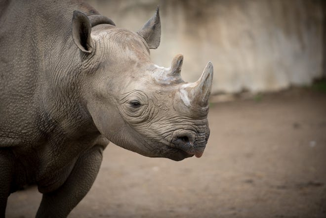 Rosie, the lone black rhinoceros at the Columbus Zoo, died Monday morning.