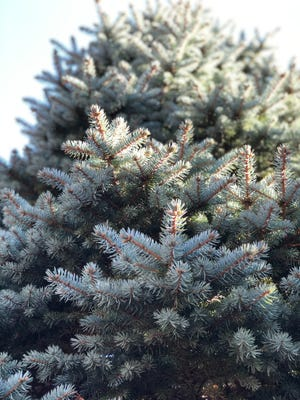 Although the needles are stiff and scratchy, a blue spruce features a striking color.
