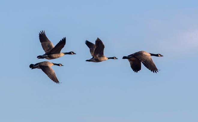 A flock of Canada geese takes off from a pond along Desmond Road at the Cosumnes River Preserve near Thornton.