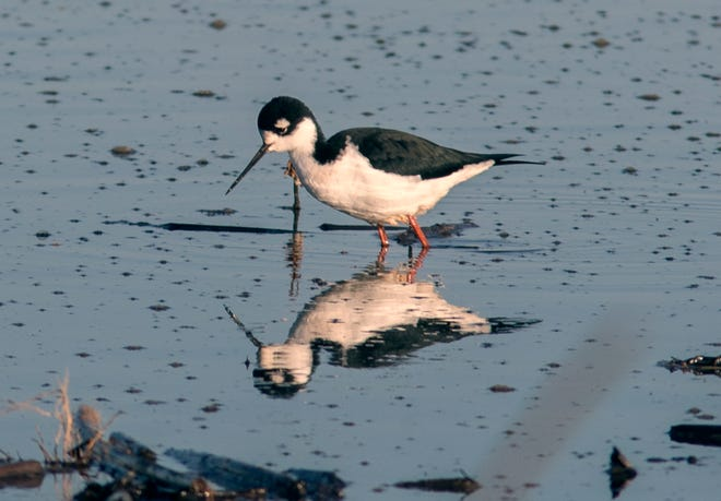 A black-neck stilt looks for some food in a pond along Desmond Road at the Cosumnes River Preserve near Thornton. There are many species of migratory birds who either make the Central Valley their winter homes or make the area a stopover on their way south along the Pacific Flyway.