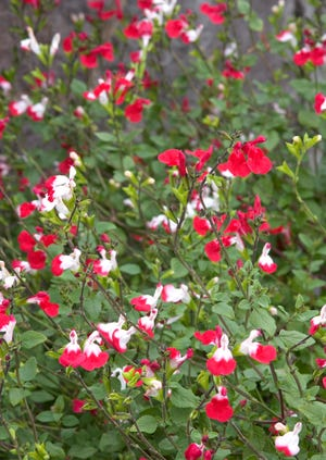 Salvia 'hot lips' generally has flowers with white upper petals and red lower petals. Flower color becomes more variable over the years.