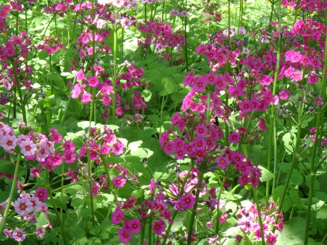 Colorful Candelabra primroses thrive in the shade of wild apple trees in June.