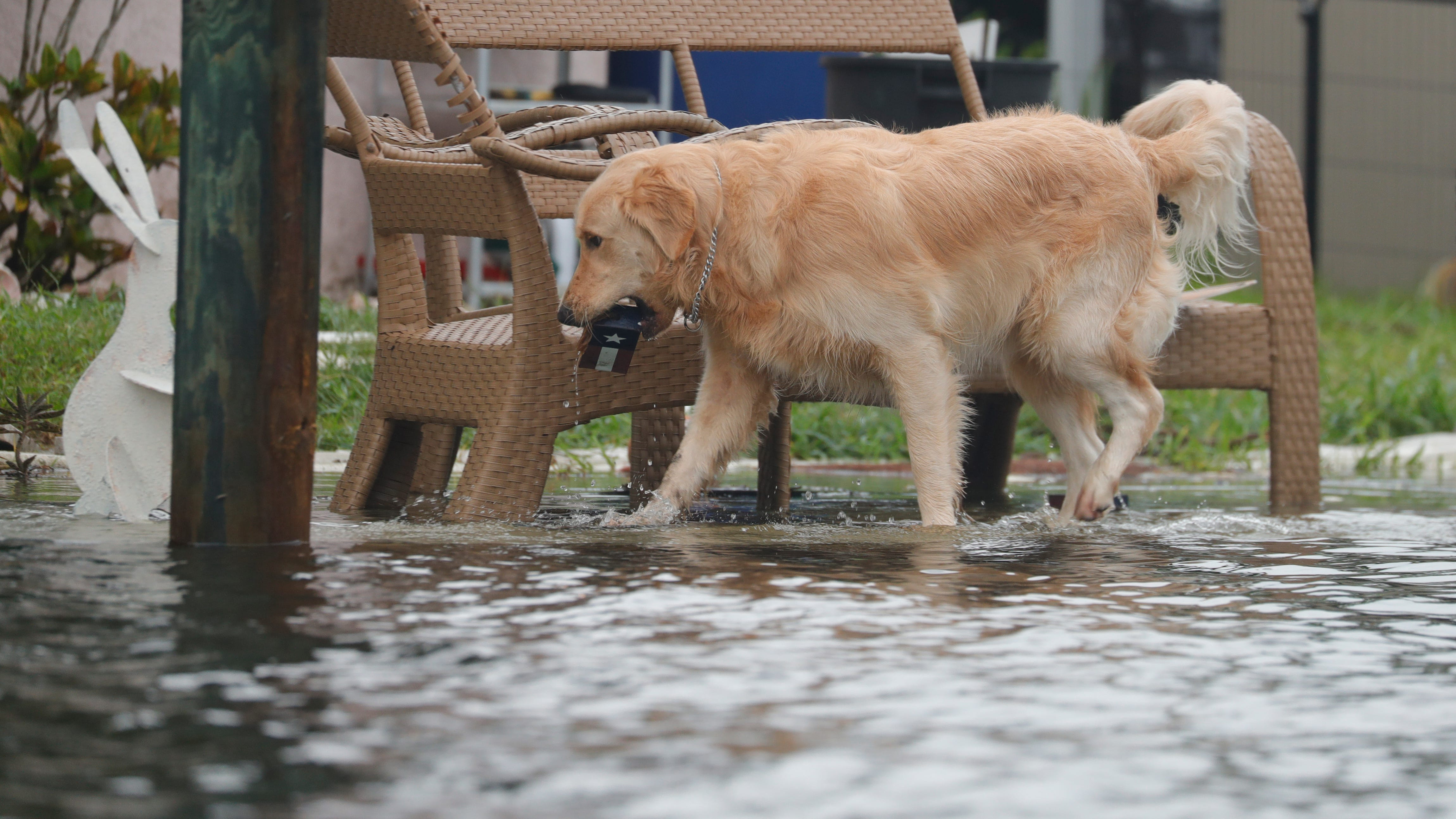 Duke, the pet dog of residents in Matlacha, wades through rising waters in his backyard to collect a toy as the winds and rain from Hurricane EtaÊimpact the area Wednesday, Nov, 11, 2020.