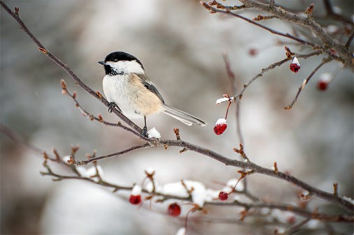 Backyard birds like Chickadees stay in the region all winter long. It's important to provide ample food and shelter during the colder months.