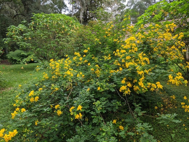 Butterfly or winter cassia comes into bloom during the fall, dominating the garden with its bright yellow flowers.