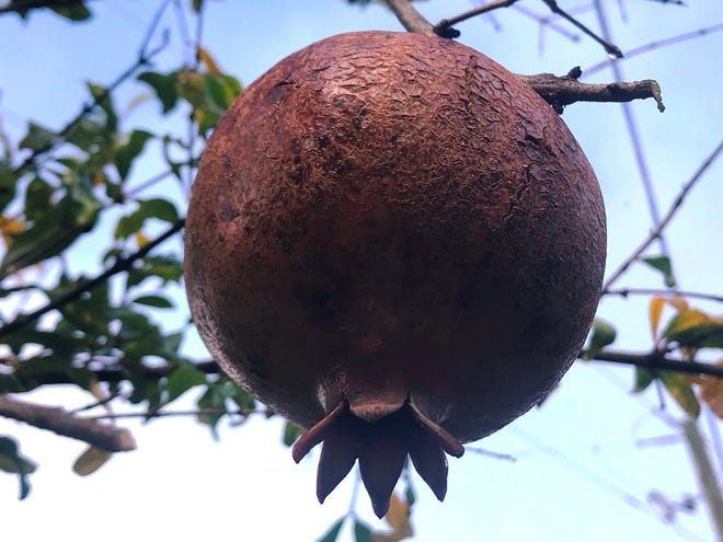The pomegranate fruit, of course, about the size of a softball, and covered with a smooth, leathery, orange-red skin.