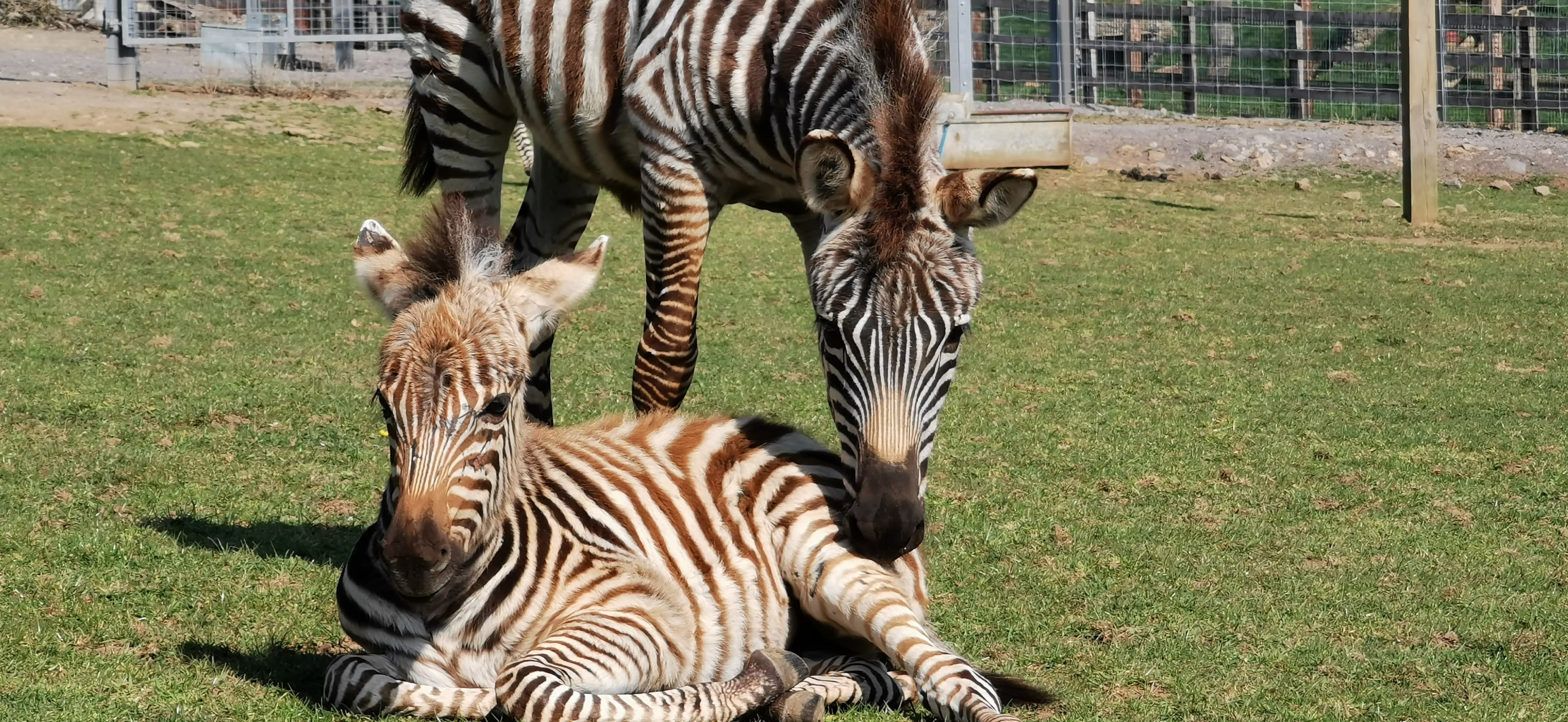 Zebra Hope Born During Covid Pandemic Dies After Fireworks In Uk