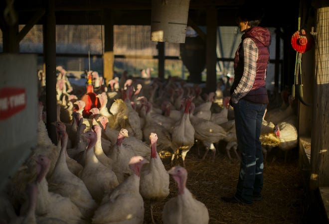 Sarah Hulbert manages Broerman Farms near Fredericktown. Each year, the farm raises about 1,000 turkeys, which are processed and sold as the Thanksgiving holiday approaches.