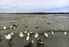 Shellfish beds in Marshfield and Scituate won't open this season.